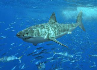 Ein Weißer Hai Credit: Terry Goss