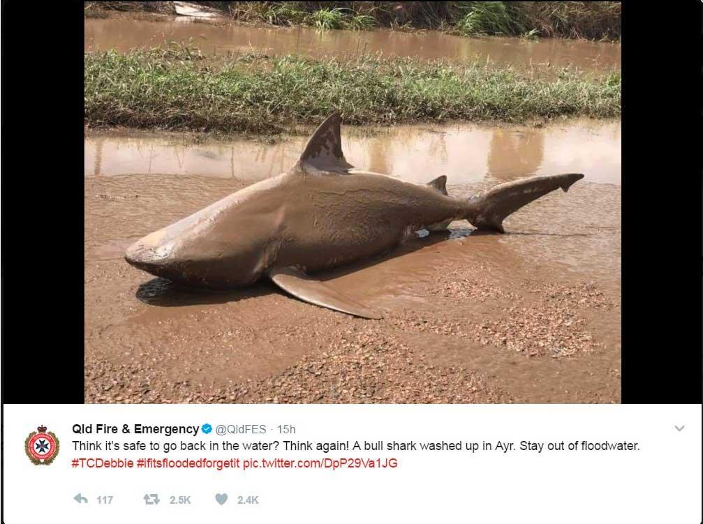 Ein Bullenhai mitten auf einer Straße. Wie kann das sein?