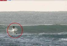 Delfinattacke auf Surfer