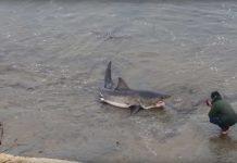 Weißer Hai am Strand