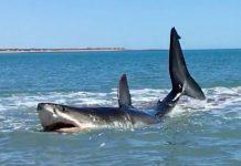 Auch ein Weißer Hai läuft mal auf Grund