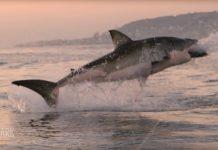 Ein Weißer Hai ist gleich die erste News in unseren News der Woche