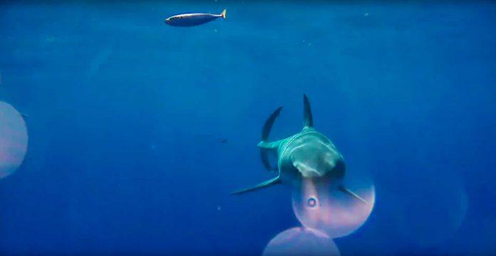 Weißer Hai frisst Kamera