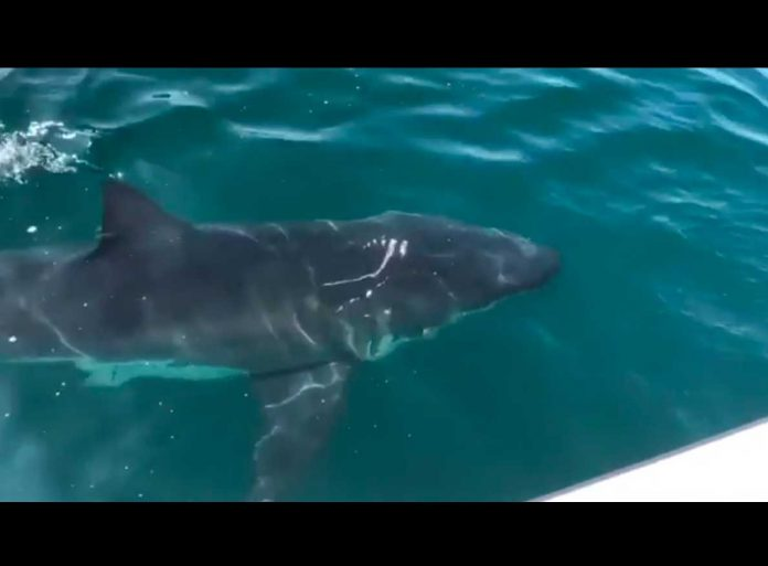 Weißer Hai vor Kalifornien